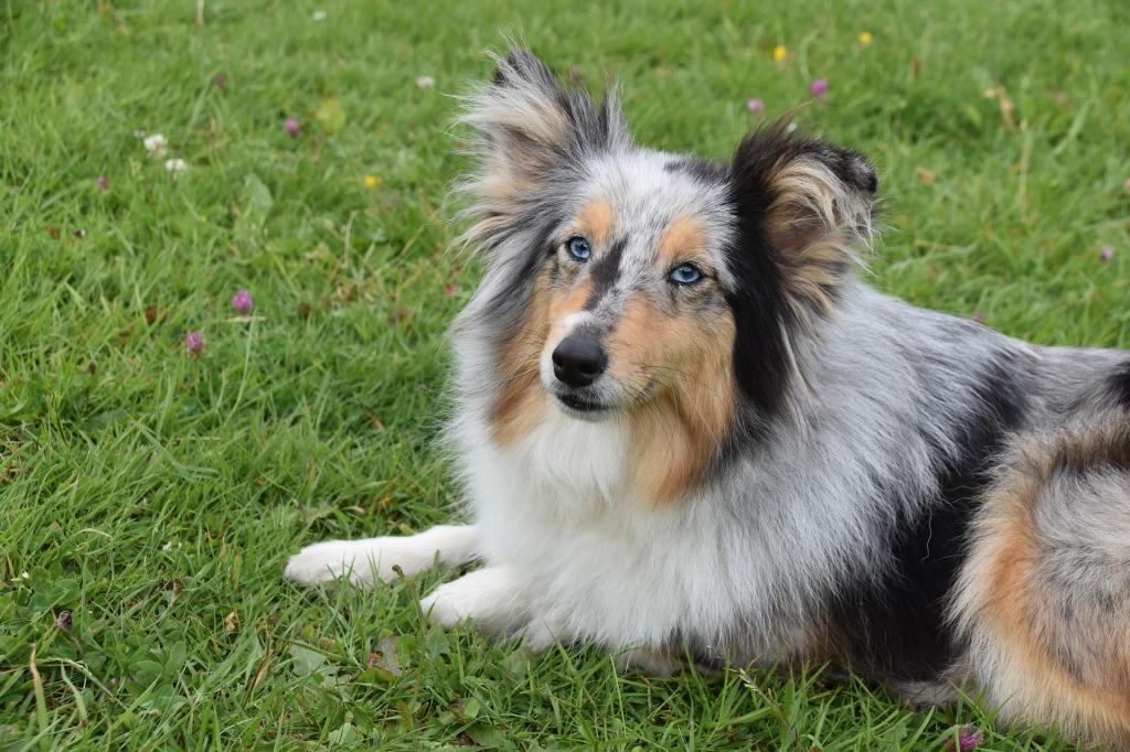 Top 10 Smartest Dog Breeds (Intelligent Dog Rankings)