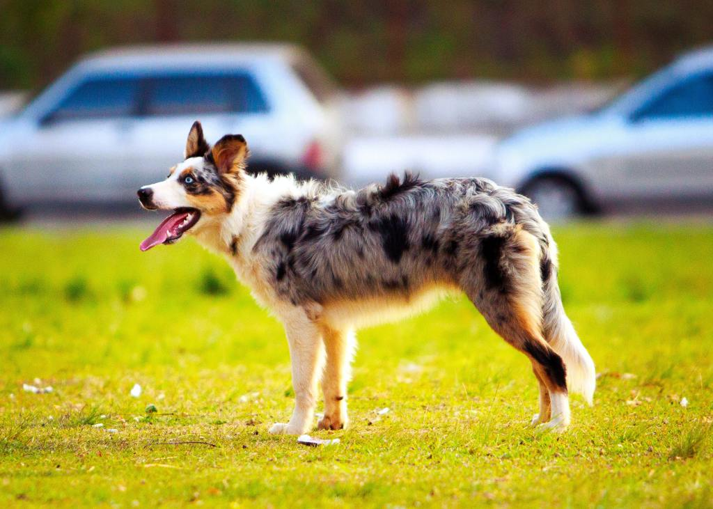 Top 10 Herding Dog Breeds for Active Families