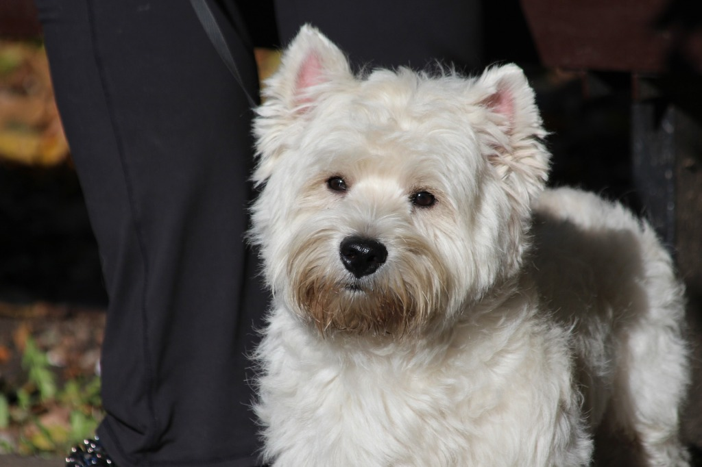 Top 10 Small Hypoallergenic Dog Breeds for People Who Suffer From Allergies