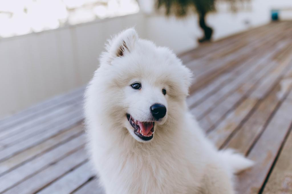 Top 10 Big Fluffy Dog Breeds That Are The Same As A Real Life Teddy Bear